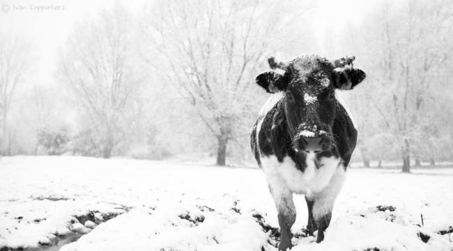 Winterweken bij Koeien en Kaas